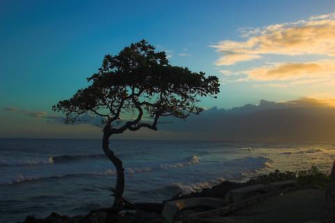 Malecon_Tree