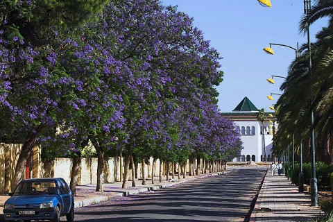 Meknes_Trees-01