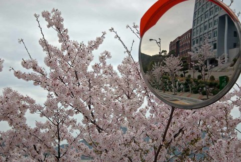 Cherry_Blossoms4