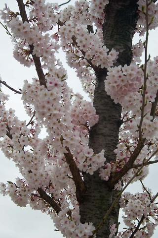 Cherry_Blossoms5