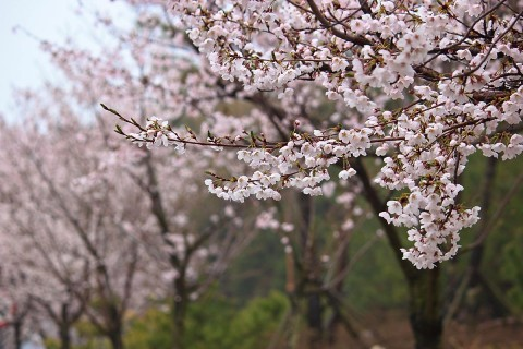 Cherry Blossoms in Yeosu