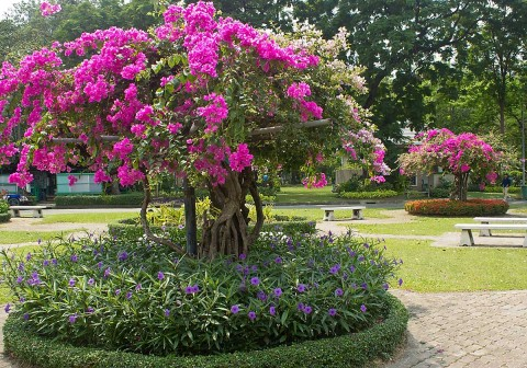 Flowers in Lumphini Park