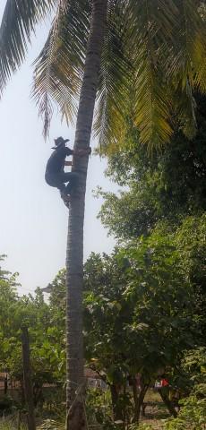 Coconut tree climber.