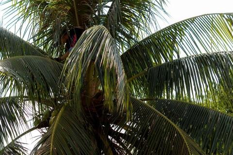 Coconut harvester